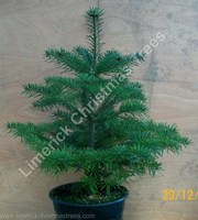 potted christmas tree